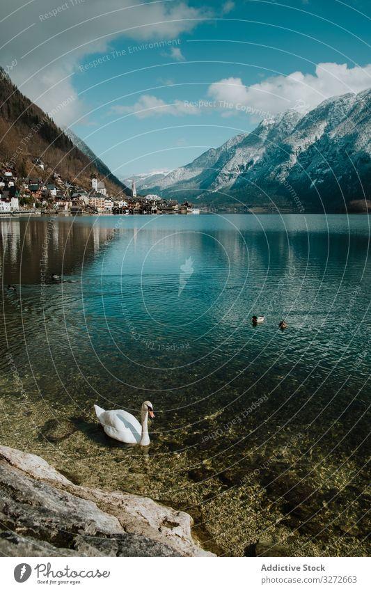 Schwan schwimmt am Ufer eines von Bergen umgebenen Sees Wasser Reflexion & Spiegelung Berge u. Gebirge weiß Hallstatt Natur blau Vogel Küste Landschaft winken