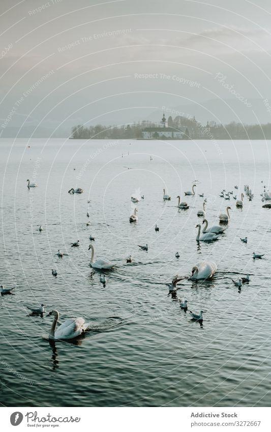 Schwäne schwimmen im See, umgeben von einem nebligen Tag Schwan Wasser Reflexion & Spiegelung weiß Natur blau Vogel Salzburg Küste Landschaft winken idyllisch