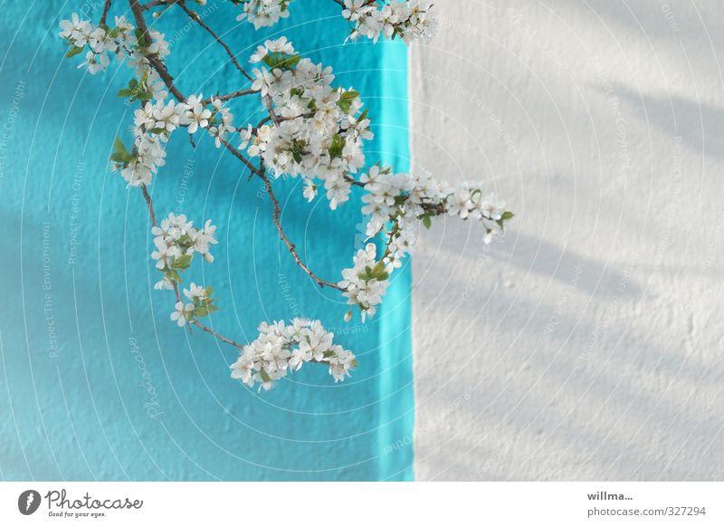 blühende Blütenzweige vor türkis-weißerer Wand Frühling Zweig Kirschblüten Apfelblüte Pflaumenblüte Mauer Fassade Blühend blau getüncht blau-weiß Farbfoto