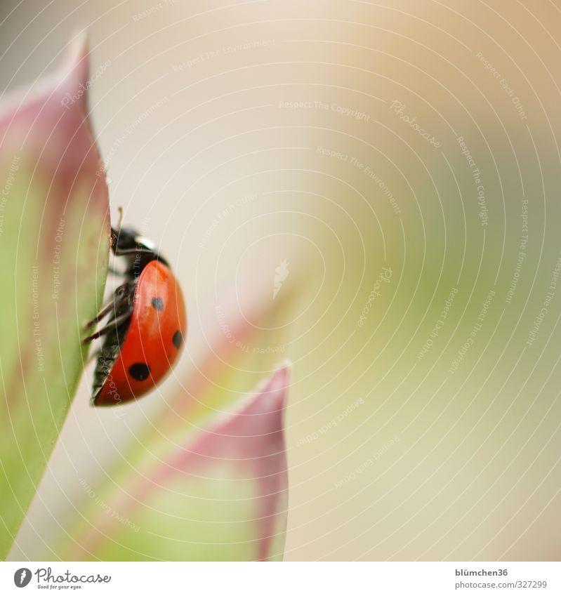 Nach oben... Tier Nutztier Käfer Flügel Marienkäfer Insekt krabbeln laufen sitzen klein natürlich rund grün rot schwarz Glück Lebensfreude Sympathie