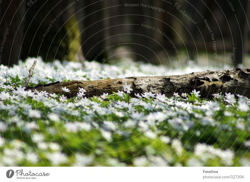 Blütenteppich Umwelt Natur Landschaft Pflanze Frühling Schönes Wetter Baum Blume Wald hell natürlich Wärme braun grün weiß Buschwindröschen Baumstamm Frühblüher