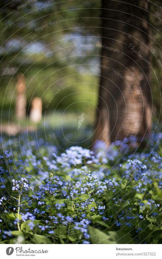vergiss mein nicht. Natur blau grün schön Pflanze Baum Blume Erholung Gefühle Frühling Blüte Garten träumen braun Stimmung Park