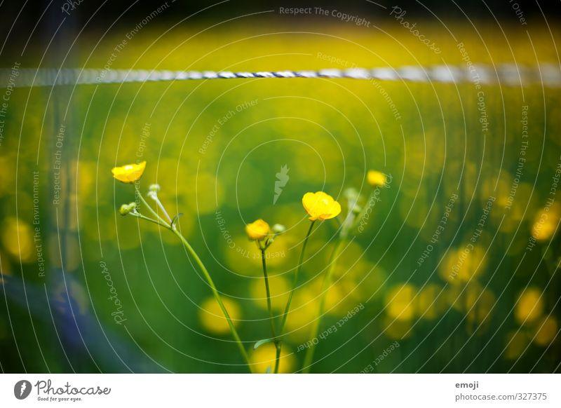 dottrig Natur grün Pflanze Blume Umwelt gelb Frühling natürlich Sumpf-Dotterblumen