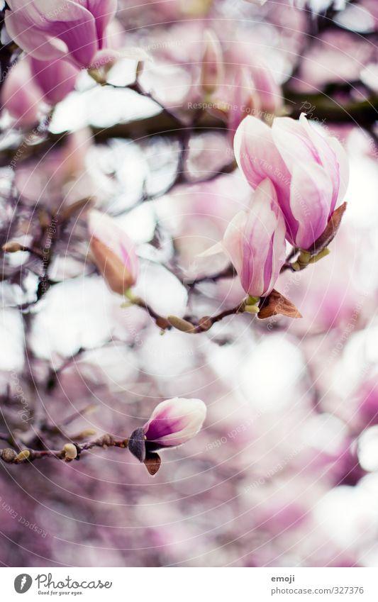 feminin Umwelt Natur Pflanze Frühling Blume Blüte natürlich rosa Magnoliengewächse Magnolienblüte Farbfoto Außenaufnahme Makroaufnahme Menschenleer Tag