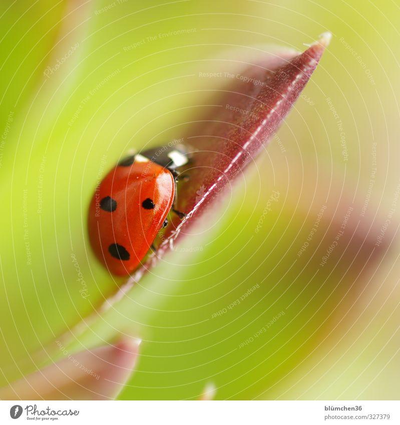 Dem Glück auf der Spur Tier Haustier Käfer Flügel Siebenpunkt-Marienkäfer Insekt 1 krabbeln laufen sitzen klein natürlich rund grün rot schwarz Lebensfreude
