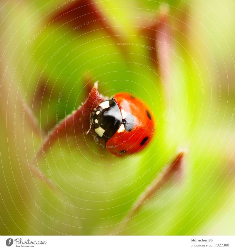 Im Angesicht des Glücks Tier Wildtier Käfer Tiergesicht Flügel Siebenpunkt-Marienkäfer Insekt 1 krabbeln laufen sitzen klein natürlich rund grün rot schwarz