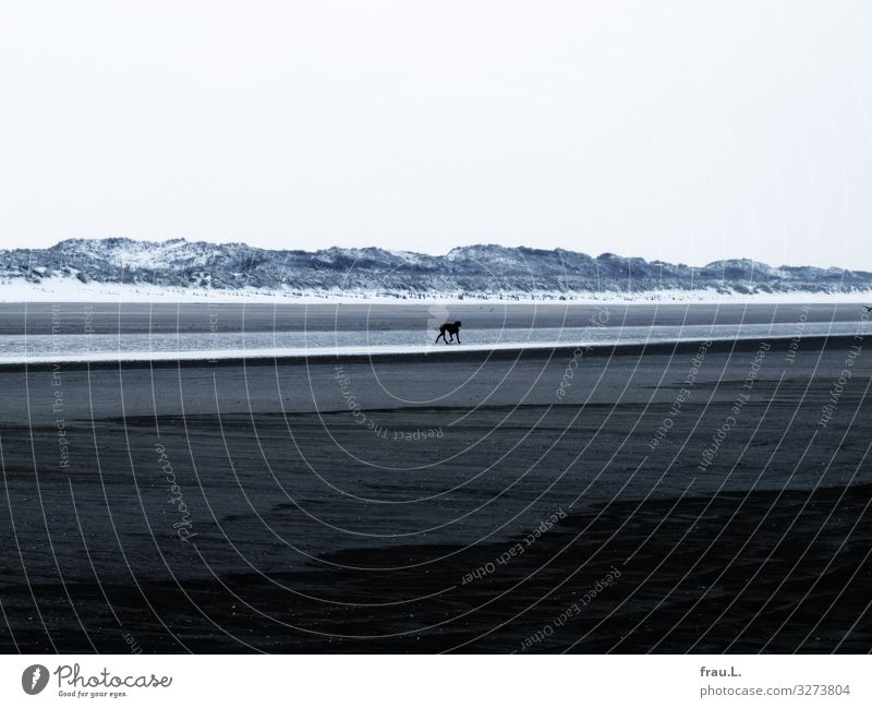 Hund schlechtes Wetter Schnee Küste Nordsee Meer De Panne Belgien Tier Haustier 1 laufen kalt maritim Einsamkeit Düne Polder Strand Winter