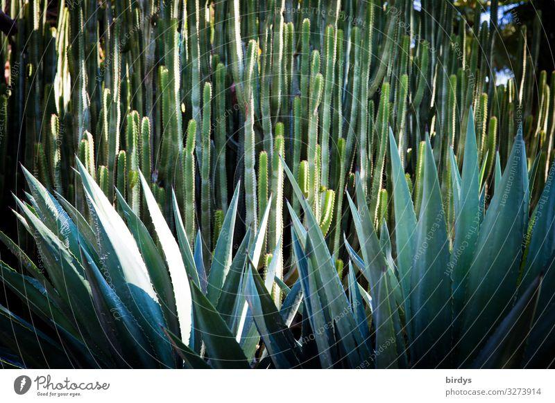 Stachelwald Natur blau grün Wachstum authentisch gefährlich geschlossen Spitze Schutz exotisch bizarr stachelig Kaktus formatfüllend Artenreichtum