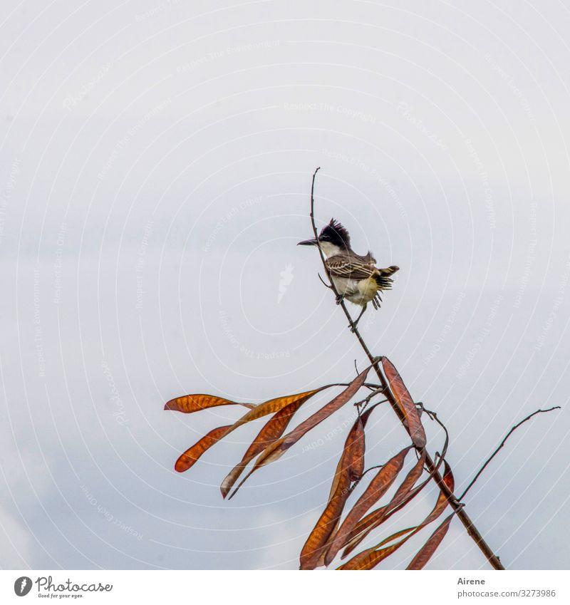 Ausguck Vogel 1 Tier beobachten braun grau Wind flattern klein Singvögel exotisch Kuba Karibik Zweig überblicken warten bewachen Blick zierlich zerzaust böse