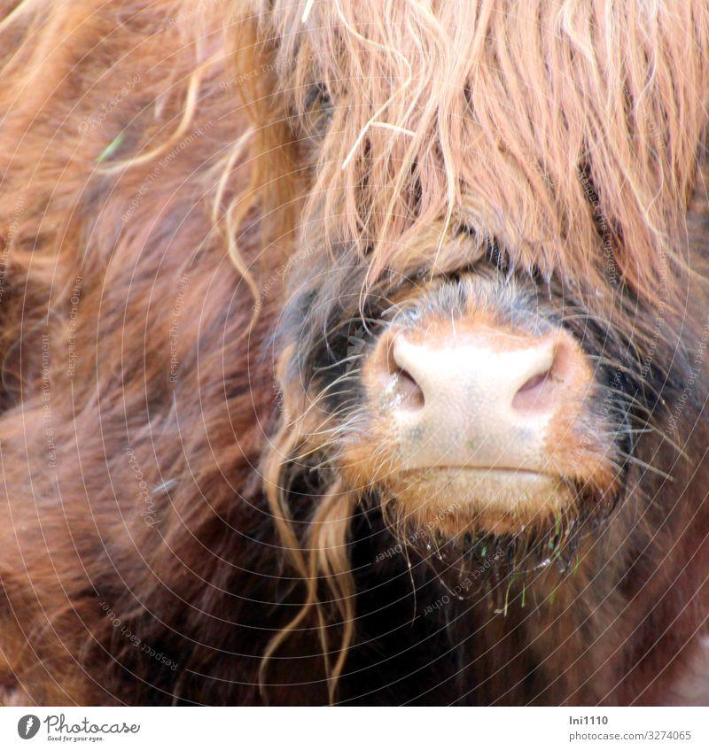 Schnauze und Teilansicht des Kopfes vom Schottischen Hochlandrind Haustier Nutztier Wildtier Kuh 1 Tier braun grau rosa schwarz Schottisches Hochlandrind