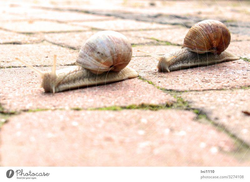 Schneckentempo Wildtier Tiergesicht 2 braun grau grün rot weiß Weinbergschnecken Schneckenhaus Fühler Auge krabbeln langsam Garten Wohnung Kalk Farbfoto