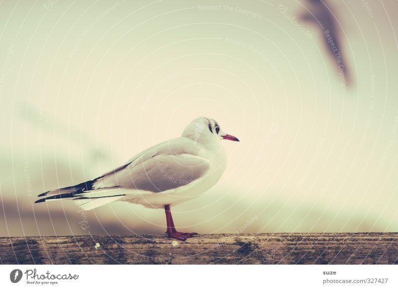 Ohne dich ist alles doof ruhig Umwelt Natur Tier Himmel Wildtier Vogel 1 Holz stehen warten hell klein niedlich retro weiß Sehnsucht Fernweh Einsamkeit Möwe