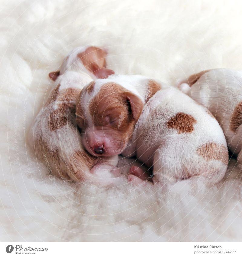 kuschelwelpen Tier Haustier Hund Tierjunges Tierfamilie kuschlig klein niedlich Wärme weich Welpe neugeboren wurf Tierzucht züchten Reinrassig