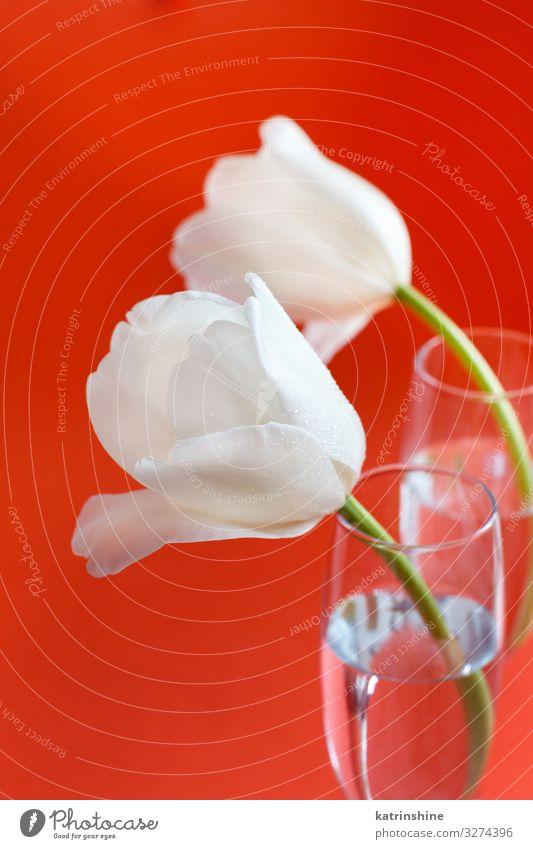 Weiße Tulpen auf rotem Hintergrund schön Muttertag Ostern Geburtstag Erwachsene Frühling Blume Blüte Blumenstrauß Liebe hell trendy weiß korallenrot romantisch