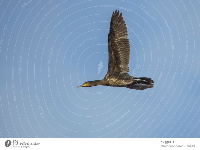 Kormoran im Flug Himmel Natur Sommer blau weiß Tier Winter schwarz Herbst gelb Umwelt Frühling natürlich außergewöhnlich Vogel braun