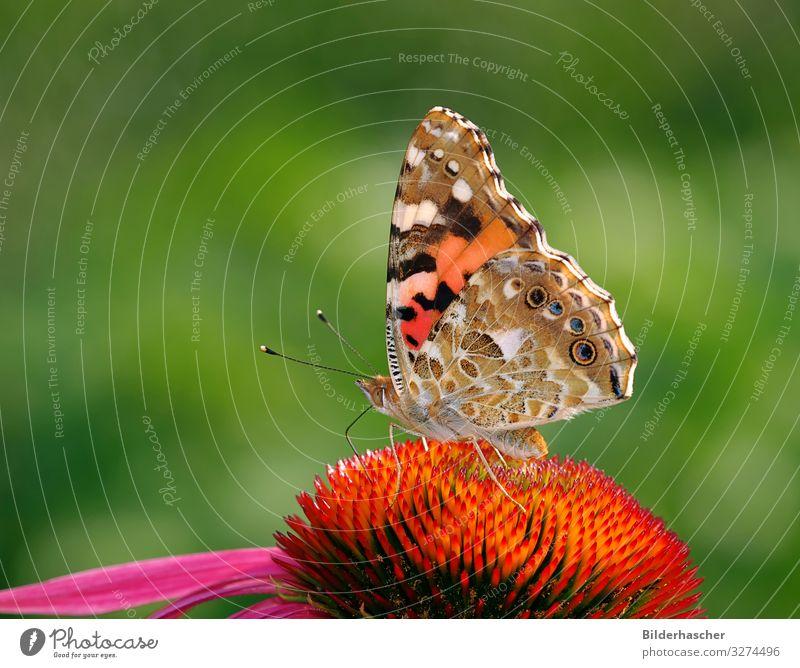 Distelfalter auf Echinacea purpurea Schmetterling Sonnenhut Roter Sonnenhut Blüte Blume Edelfalter tagfalter Insekt Sommerblumen Fluginsekt Blumenstrauß