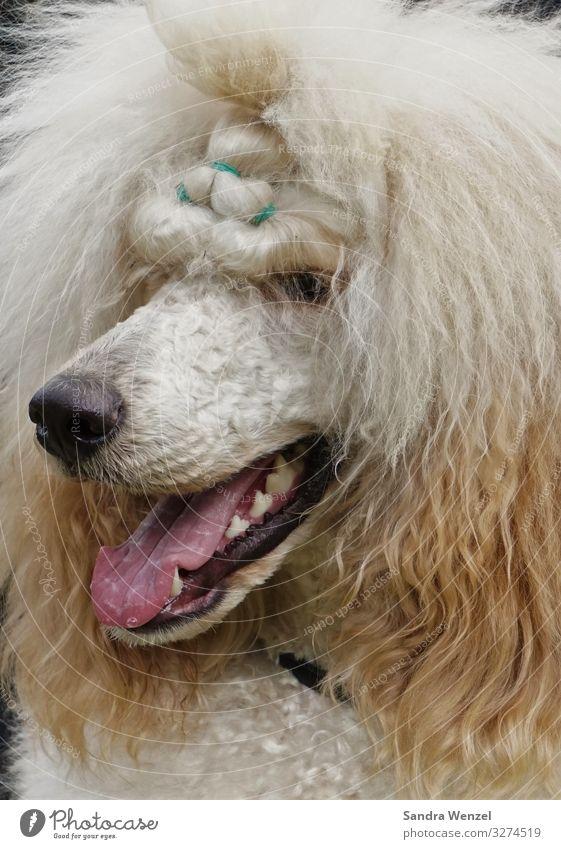 Königspudel Tier Hund Pudel 1 außergewöhnlich Farbfoto Innenaufnahme Tag Tierporträt Wegsehen