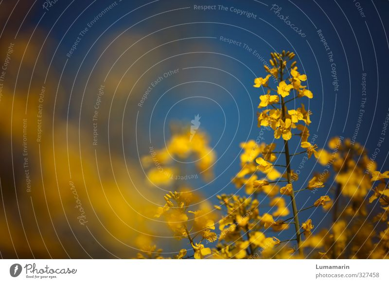 flower power Umwelt Wolkenloser Himmel Sommer Schönes Wetter Pflanze Nutzpflanze Raps Rapsblüte Rapsfeld Rapsanbau Feld nah blau gelb Energie Farbe Optimismus