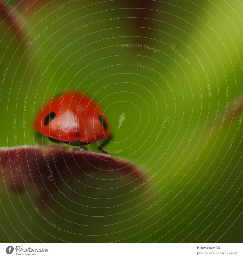 Nichts wie weg Tier Nutztier Käfer Flügel Siebenpunkt-Marienkäfer Insekt 1 krabbeln laufen sitzen klein natürlich rund grün rot schwarz Glück Lebensfreude