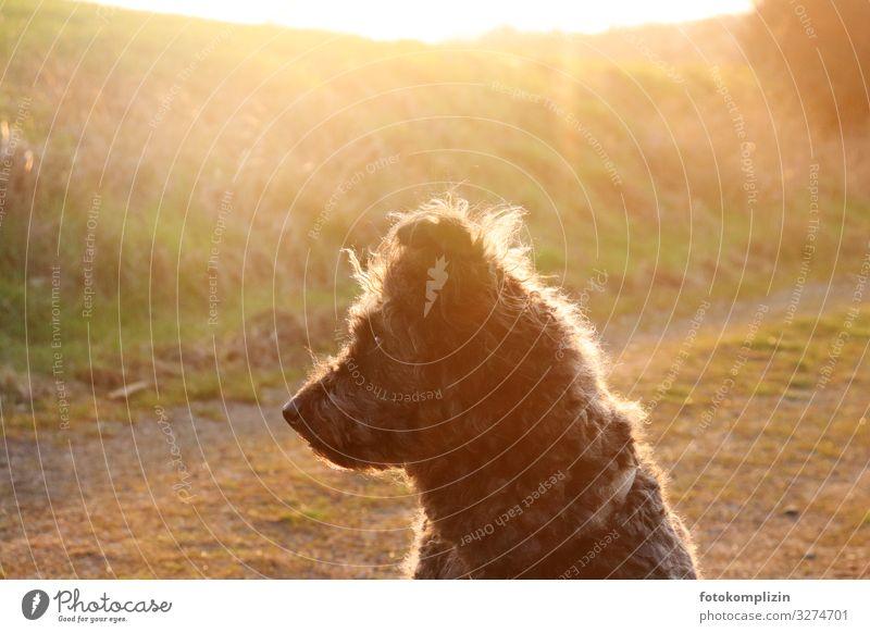 Hund im Licht Sonnenlicht Haustier Fell Hirtenhund 1 Tier beobachten hören sitzen Wärme gold Stimmung Tierliebe achtsam Wachsamkeit ruhig Neugier Zufriedenheit