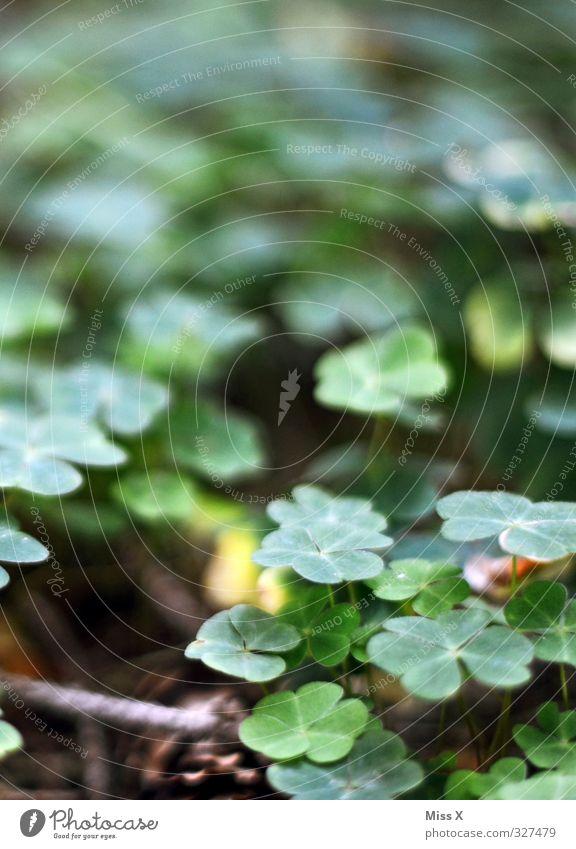 Glücksklee Pflanze Blatt Wald Wachstum Waldboden vierblättrig Klee Kleeblatt Glücksbringer Farbfoto Außenaufnahme Nahaufnahme Makroaufnahme Muster Menschenleer