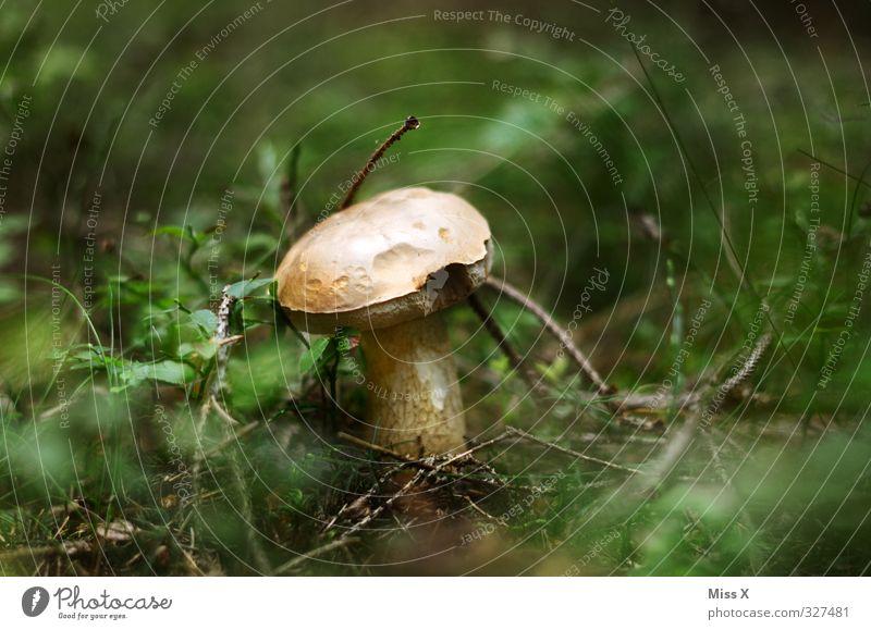 Saison Lebensmittel Ernährung Herbst Gras Wald Wachstum Pilz Waldboden Steinpilze Maronenröhrling Außenaufnahme Nahaufnahme Menschenleer Textfreiraum links
