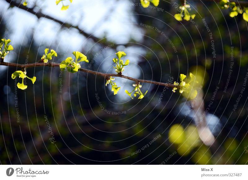 Frühlingserwachen Blatt Wald Blühend Wachstum Frühlingstag Ginkgo Blattknospe Blütenknospen Farbfoto mehrfarbig Außenaufnahme Nahaufnahme Menschenleer
