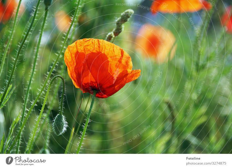 Ich träum vom Sommer! Umwelt Natur Landschaft Pflanze Blume Blüte Park Wiese Feld hell Wärme grün rot Mohnblüte Mohnfeld Mohnkapsel Blütenknospen Farbfoto