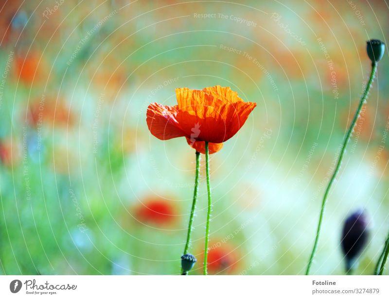Mohntag Umwelt Natur Landschaft Pflanze Sommer Schönes Wetter Blume Blüte Wiese Feld hell nah natürlich Wärme grün rot Mohnblüte Mohnfeld Mohnkapsel Blühend