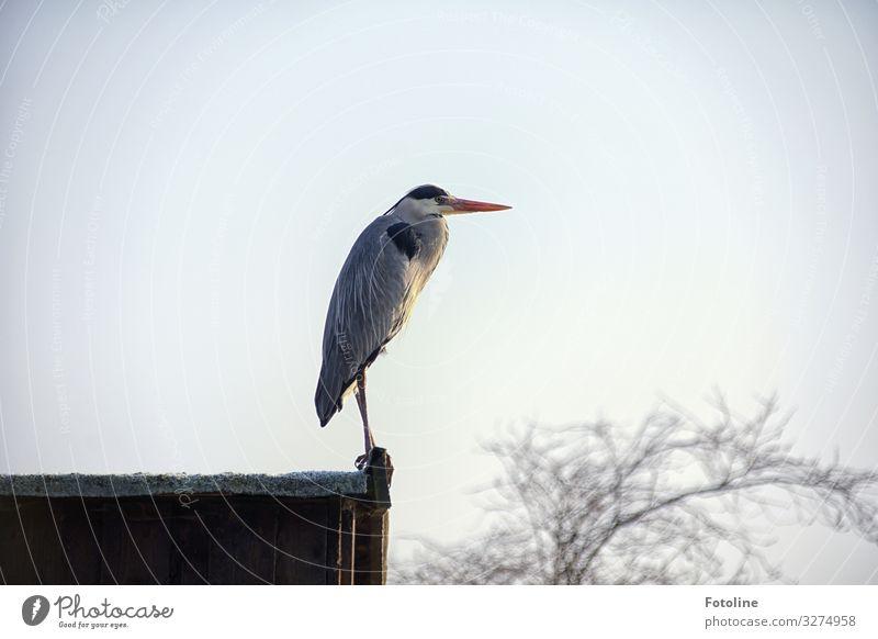 Ausschau halten Umwelt Natur Landschaft Pflanze Tier Himmel Wolkenloser Himmel Winter Baum Wildtier Vogel Flügel 1 frei hell nah natürlich grau schwarz weiß