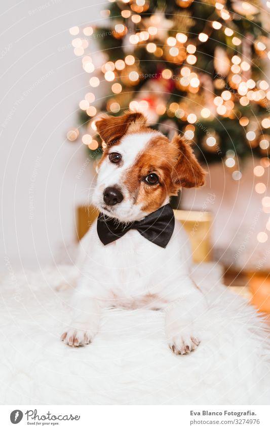 süßer Jack-Russell-Hund zu Hause am Weihnachtsbaum, Hund mit Fliege Adoption annehmen Weihnachten & Advent im Innenbereich Haustier Jack-Russell-Terrier