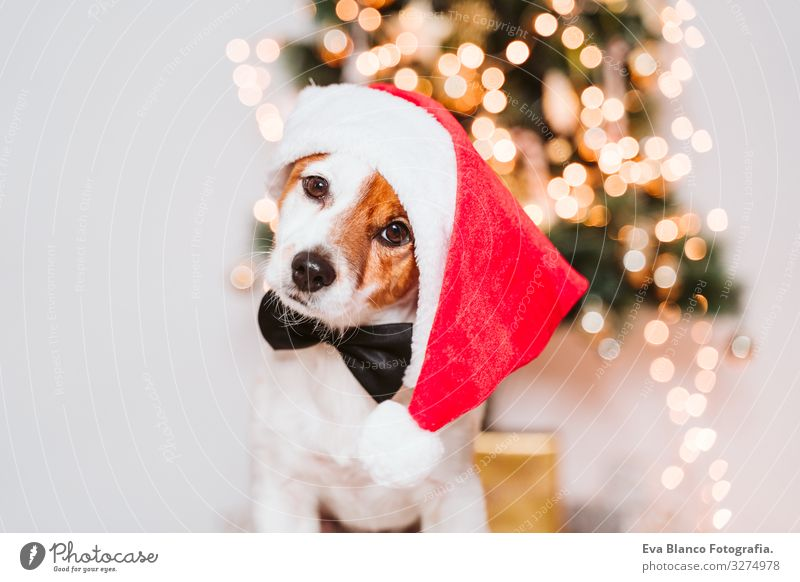 süßer Jack-Russell-Hund zu Hause am Weihnachtsbaum, Hund mit rotem Weihnachtsmannhut Adoption annehmen Weihnachten & Advent im Innenbereich Haustier