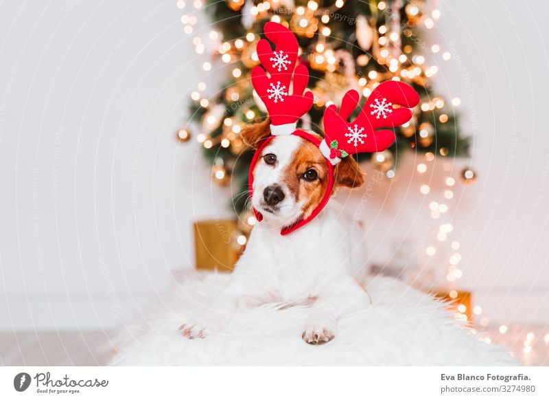 süßer Jack-Russell-Hund zu Hause am Weihnachtsbaum, Hund trägt ein rotes Weihnachtsmanndiadem Diadem Adoption annehmen Weihnachten & Advent im Innenbereich