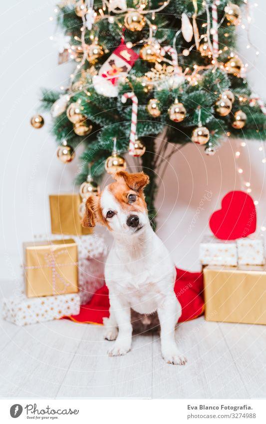 süßer jack russell hund zuhause am weihnachtsbaum Adoption annehmen Hund Weihnachten & Advent im Innenbereich Haustier Jack-Russell-Terrier niedlich heimwärts