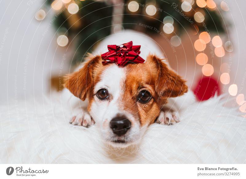 süßer Jack-Russell-Hund zu Hause am Weihnachtsbaum Weihnachten & Advent im Innenbereich Haustier Jack-Russell-Terrier niedlich heimwärts Studioaufnahme rot