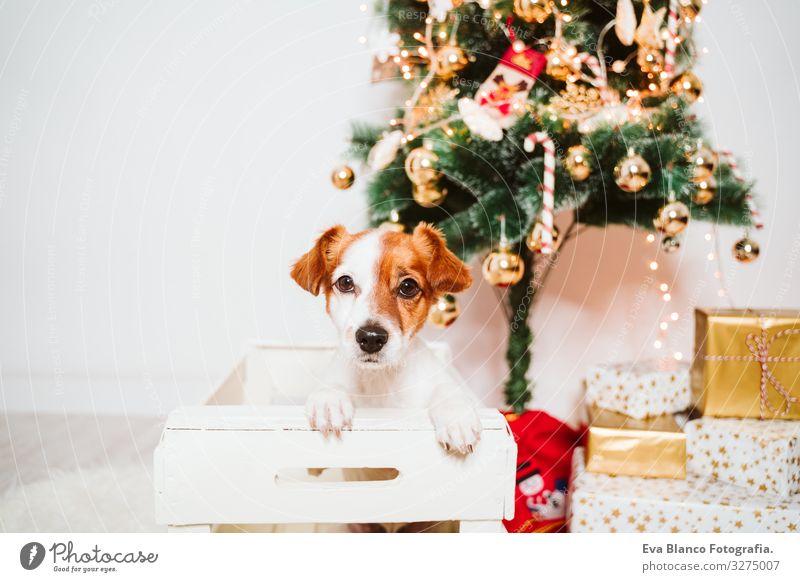 süßer Jack-Russell-Hund in eine Schachtel zu Hause am Weihnachtsbaum Kasten Adoption annehmen Weihnachten & Advent im Innenbereich Haustier Jack-Russell-Terrier