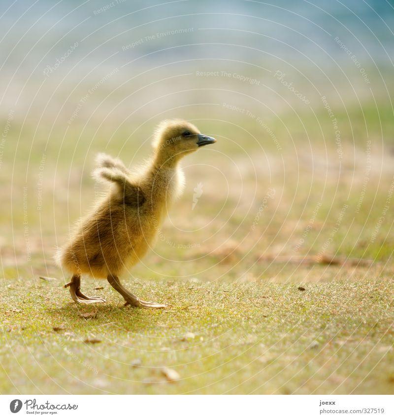 Starterlaubnis erteilt blau schön grün Tier gelb Tierjunges Leben Wiese Freiheit braun Vogel fliegen laufen frei niedlich weich