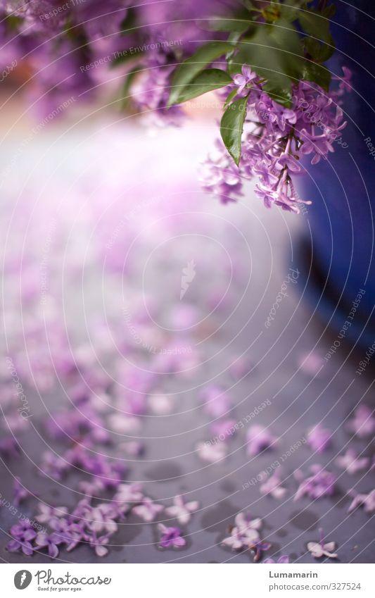 alles hat seine Zeit Garten Dekoration & Verzierung Frühling Pflanze Blüte Topfpflanze Fliederbusch Blühend fallen Duft schön nah nass violett rosa Stimmung