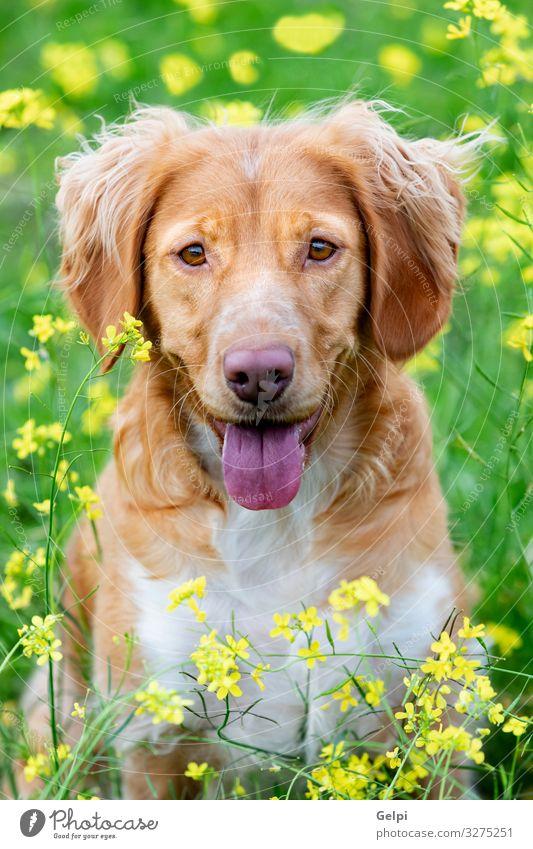 Wunderschöner brauner bretonischer Hund auf der Wiese Freude Tier Blume Gras Pelzmantel Haustier Freundlichkeit groß gelb weiß rein züchten Reinrassig Welpe