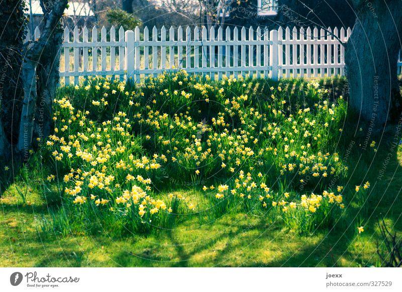 Ostersonntag Frühling Schönes Wetter Baum Blume Gelbe Narzisse Garten Blühend schön braun gelb grün weiß Stimmung Frühlingsgefühle Idylle Kitsch Tradition
