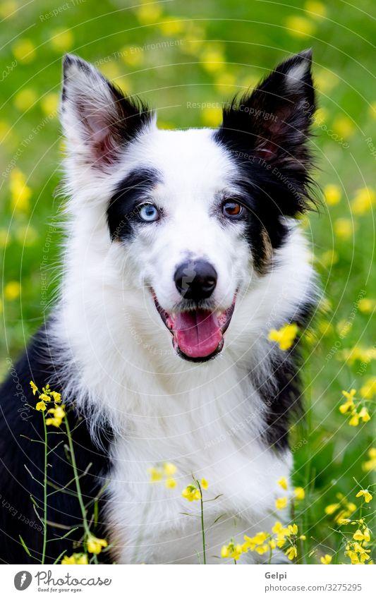 Wunderschöner schwarz-weißer Border Collie Hund Freude Tier Blume Gras Wiese Pelzmantel Haustier Freundlichkeit groß blau braun gelb rein züchten
