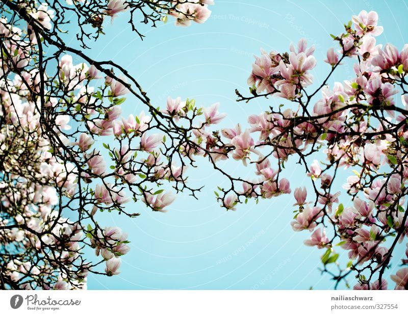 Magnolia Natur Pflanze Himmel Frühling Sommer Schönes Wetter Baum Blume Blatt Blüte Grünpflanze Nutzpflanze Magnoliengewächse Ast Zweige u. Äste Garten Park