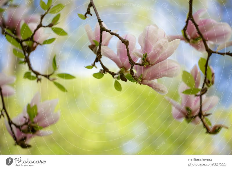 Magnolia Natur blau grün schön Sommer Pflanze Baum Blume Blatt Umwelt Frühling Blüte Garten natürlich rosa Park