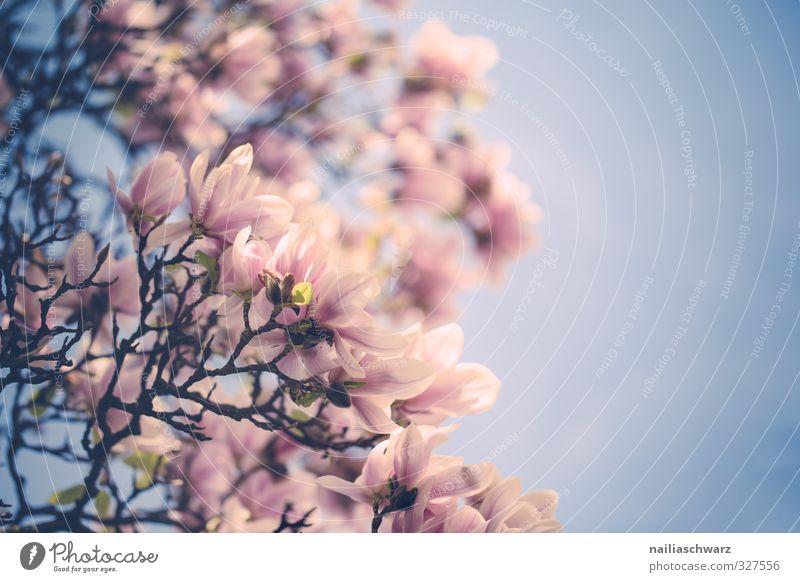 Magnolia Himmel Natur blau schön Sommer Pflanze Baum Blume Umwelt Frühling Blüte natürlich Garten rosa Park Kraft