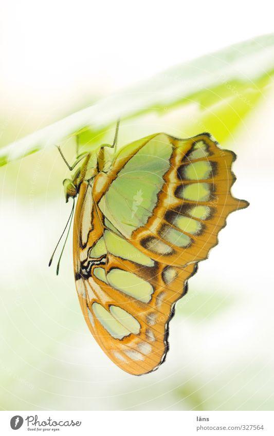 chill out area Pflanze Tier Blatt Schmetterling Flügel Zoo 1 hängen ästhetisch außergewöhnlich unten braun gelb grün einzigartig Erholung Fühler zart