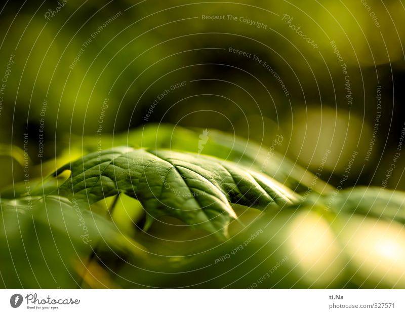 Grüner Streifzug Pflanze Tier Frühling Schönes Wetter Baum Blatt Ahornblatt Garten Wald Wachstum ästhetisch authentisch natürlich wild gelb grün Umwelt