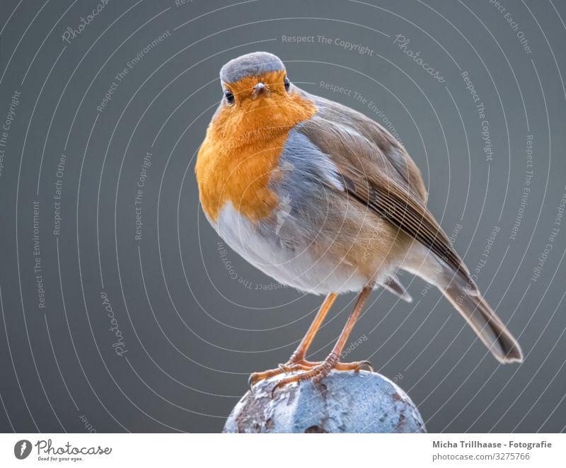 Im Blick des Rotkehlchen Natur Tier Sonne Sonnenlicht Schönes Wetter Wildtier Vogel Tiergesicht Flügel Krallen Feder Kopf Auge Schnabel Beine gefiedert 1