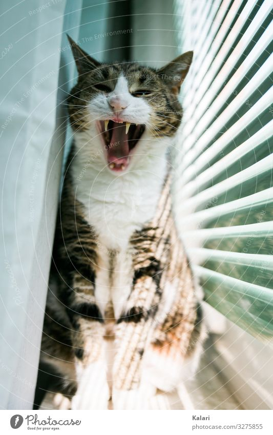 Gestreifte Katze gähnt mit weit offenem Maul auf der Fensterbank katze fensterbank schnauze vorhang witzig beobachten haustier stolz getigert anschauen