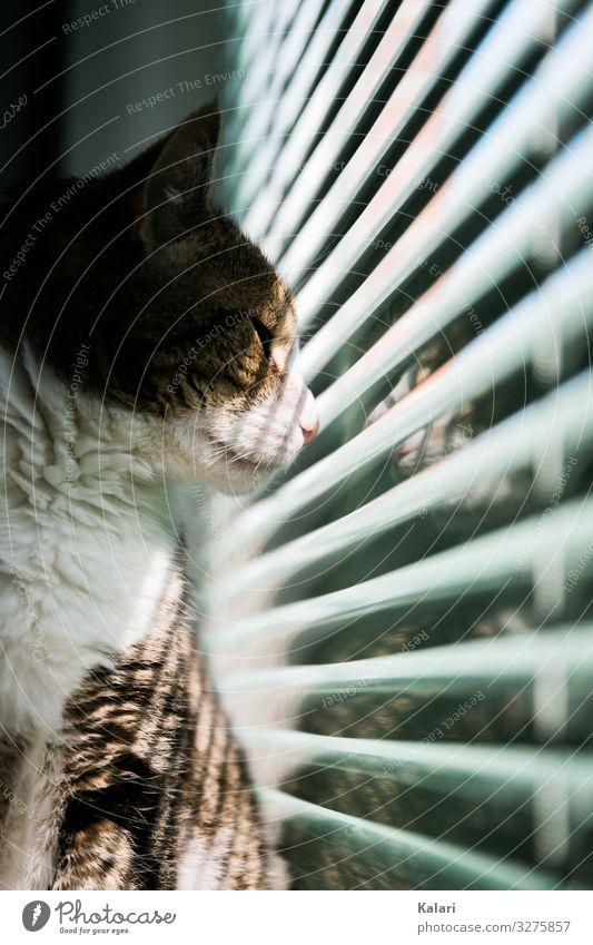 Katze guckt durch halb geschlossene Jalousie nach draußen katze fenster beobachten haustier fensterlicht jalousie lichtstreifen anschauen getigert aufpassen
