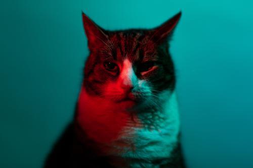 Katze im Neonlicht schaut in die Kamera katze szene anschauen kunst rot portrait experimentell dunkel tier studio haustier hübsch einheimisch fell auge